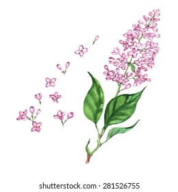 Hand drawn watercolor isolated illustration of violet lilac branch on the white background in vector