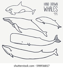 Hand drawn whales set. Outline Vector. Zoological illustration. Marine mammals, such as  blue whale, sperm whale, humpback whale, orca. Giant sea and ocean creatures. Underwater animals collection