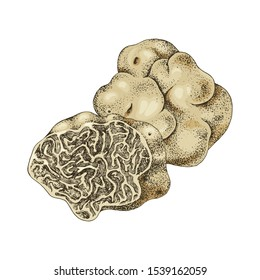 Hand drawn white truffle or tuber magnatum . Vector illustration