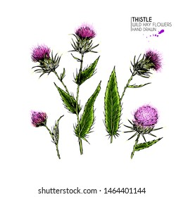 Hand drawn wild hay flower. Milk marian thistle. Medical herb. Colored engraved art. Vector illustration. Good for cosmetics, medicine, treating, aromatherapy, nursing, package design field bouquet