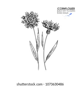 Hand drawn wild hay flowers. Cornflower flower. Medical herb. Vintage engraved art. Botanical illustration. Good for cosmetics, medicine, treating, aromatherapy, nursing, package design field