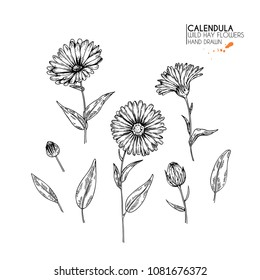 Hand drawn wild hay flowers. Calendula flower. Medical herb. Vintage engraved art. Botanical illustration. Good for cosmetics, medicine, treating, aromatherapy, nursing, package design, field bouquet.