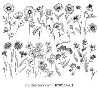 Hand drawn wild hay flowers. Medical herbs and plant. Calendula, Chamomile, Cornflower, Celandine, Cosmos, Yarrow, Thistle, Echinacea. Engraved. Cosmetic, essential oil, package, herbal tea, medicine