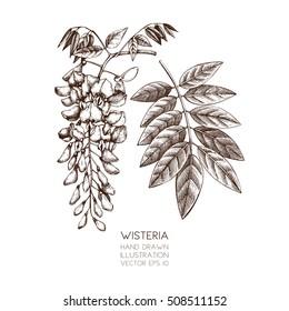 Hand drawn Wisteria flower illustration. Vector blossomed tree sketch on white background. Vintage botanical  illustration.