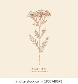 Hand drawn yarrow illustration. Botanical design for organic cosmetics, aromatherapy, medicine