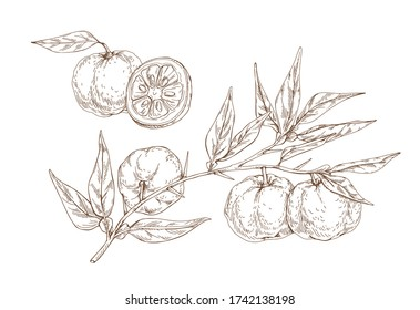 Hand drawn yuzu citrus monochrome vector engraving illustration. Realistic fruit on branches with leaves isolated on white background. Ripe organic juicy food half and whole detailed design elements