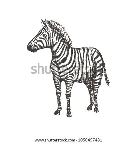 f77e8633f Hand Drawn Zebra Sketch Vector Illustration Stock Vector (Royalty ...