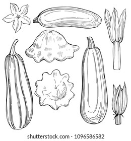Hand drawn zucchini  and squash on white background.Vector sketch  illustration.