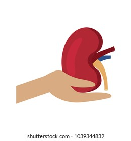 hand hold human kidney healthcare concept