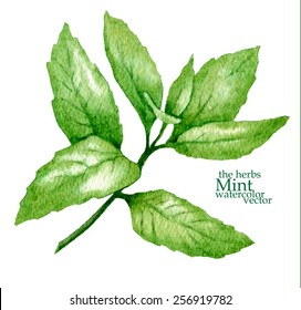 Hand made vector sketch of mint branch
