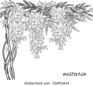 hand painted wisteria. Wistaria drawing set isolated on white background. Vector sketch  illustration.  in bloom. Ink painted  flowers over white. Blossom collection. Hand drawn illustration.