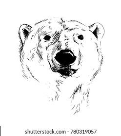 Hand Sketch Head of Polar Bear. Vector illustration
