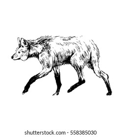 Hand sketch maned wolf. Vector illustration