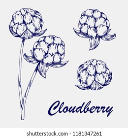 Hand sketched cloudberry isolated on grey background. Ballpoint pen drawing cloudberry vector illustration