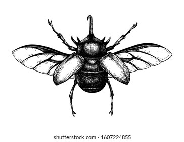 Hand sketched five-horned rhinoceros beetle. Insects collection. Isolated entomological illustration on white background. Insects drawing. Black and white rhinoceros beetle sketch. Realistic outline.