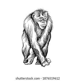 Hand-drawn black and white sketch of chimpanzee on a white background. Wild life. Wild animals. Black and white chimpanzee, chimp, monkey