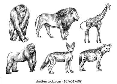 Hand-drawn black and white sketch set of wild animals from Africa. Savanna, Jungle. Jackal, fox, Gorilla; chimpanzee, Hyena; lion; giraffe; zebra