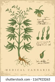 Hand-drawn Botanical vector illustration in retro style with plant of medical cannabis. Page of an old book with handwriting inscriptions. Hemp, Cannabis or marijuana, medicinal plant