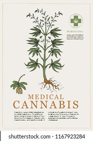 Hand-drawn Botanical vector illustration in retro style with plant of medical cannabis. Page of an old book. Hemp, Cannabis or marijuana, medicinal plant
