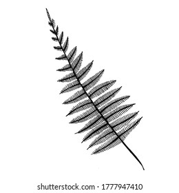 A hand-drawn graphic representation of a fern stem. Black and white vector image isolated on white background.