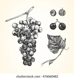 Hand-drawn illustration of Grapes. Vector