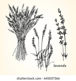 Hand-drawn illustration of Lavender. Vector