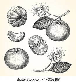 Hand-drawn illustration of Mandarin. Vector