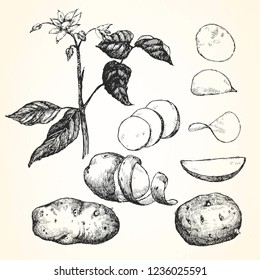 Hand-drawn illustration of Potato,  vector