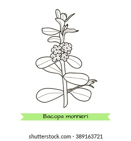 Handdrawn Illustration - Siberian herbs.Outline drawing isolated on white. Vector illustration. Bacopa monnieri