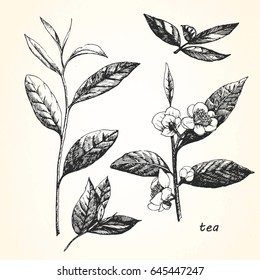 Hand-drawn illustration of Tea. Vector