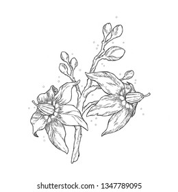 Hand-Drawn Ink Illustration of a Deadly Nightshade (Belladonna) plant. Black and White vector.