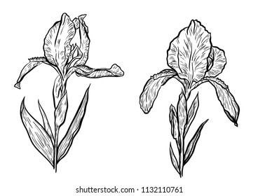 Hand-drawn iris set in vector on white background.