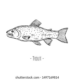 Hand-drawn isolated trout. Vector cartoon illustration of fish. Isolated object on a white background.