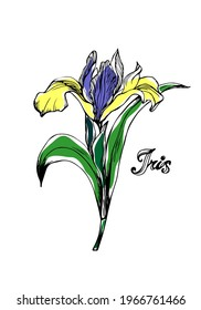Hand-drawn outline colourful Iris Flower Isolated on white background. Vector. Yellow - purple irises. Botanical illustration. Perfect for Postcard, Interior decoration. Cards of Happy Mother's Day.