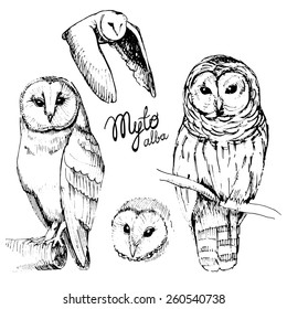 Hand-drawn owl Tyto alba.  Sit on a branch and in flight. Set of sketches of owls.