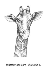 Hand-drawn sketch a head of a giraffe. Giraffe from the front. A beautiful illustration painted by hand. Giraffe from the front.