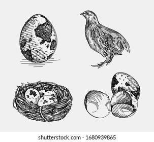 Hand-drawn sketch of quail set. The set consists of a quail, quail eggs and quail eggs in the nest