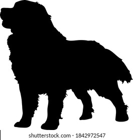 Hand-drawn standing Bernese Mountain Dog silhouette. isolated background