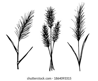 Hand-drawn vector drawing in black outline. Set of panicle inflorescences, steppe pampas grass, wild reeds. Nature, plants for boho style decoration.