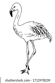 Hand-drawn vector illustration with black outline. Beautiful full-length flamingo bird isolated on a white background. Wildlife, ornithology, nature, zoo. Print, label. Ink drawing.