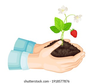 Hands Holding Soil with Young Strawberry Plant Growing in It Vector Illustration