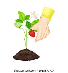 Hands Setting Young Strawberry Plant in Soil Vector Illustration