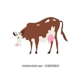 Happy Ayrshire Cow bending down and trying to eat grass. Brown cow with white spots and patterns and skinny legs.