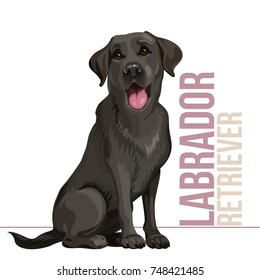Happy black labrador retriever sitting in front of a white background