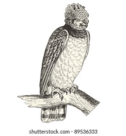 Harpy eagle - vintage engraved illustration -