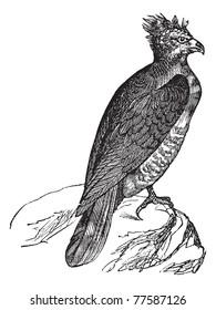 Harpy (thrasaetus harpyia) vintage engraving. Old engraved illustration of harpy eagle. Trousset Encyclopedia.