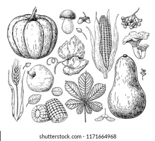 Harvest products. Hand drawn vintage vector illustration with pumpkin, apple, corn, wheat, muhroom. Farm Market poster. Organic Vegetarian set.  Detailed food drawing. Great for menu, banner, label