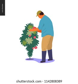 Harvesting people - vector flat hand drawn illustration of an adult man wearing a cap and rubber boots collecting cherry tomatoes from high bush. Self-sufficiency, farming and harvesting concept