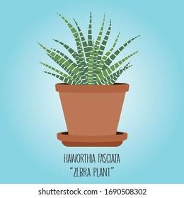 Haworthia fasciata ( Zebra plant )