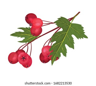 Hawthorn Berry Branch with Cluster of Red Round Small Pome Fruits Vector Illustration